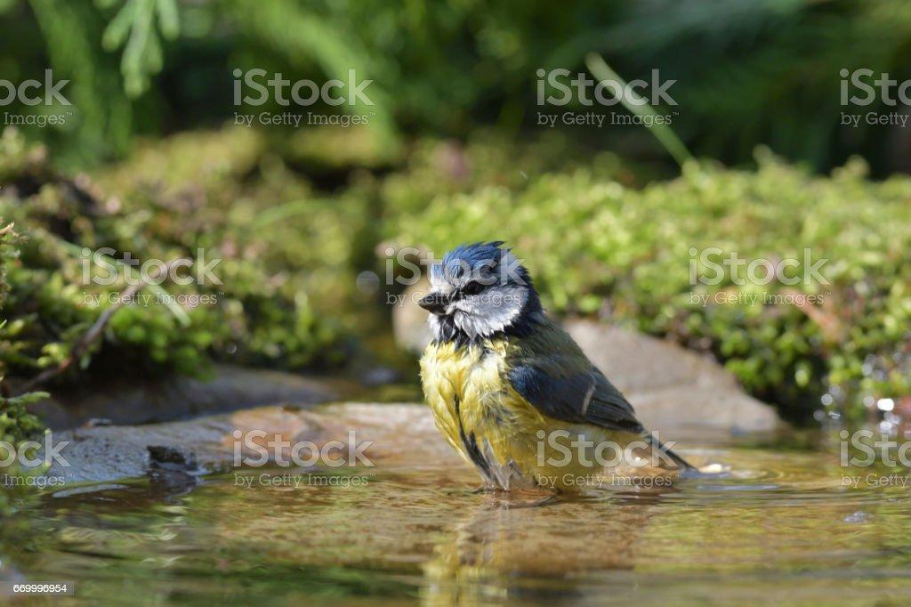 Bluetit washing (Cyanistes caeruleus) stock photo