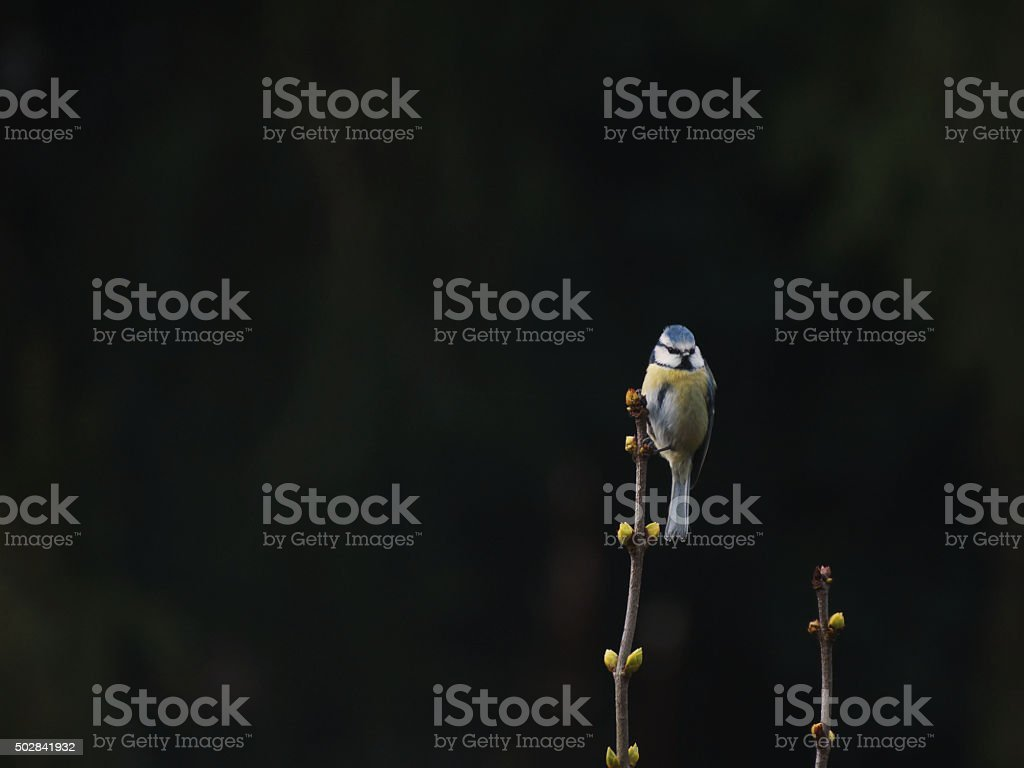 Bluetit watching from a lilac branch stock photo