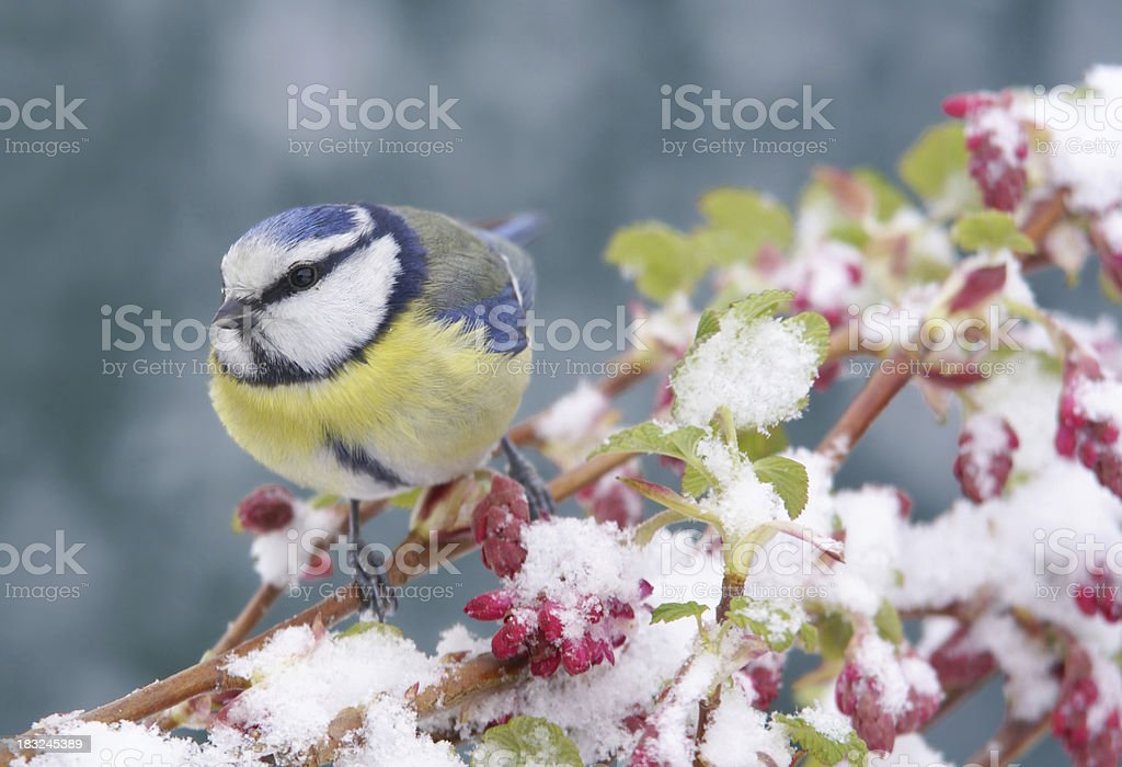 Bluetit with snow stock photo