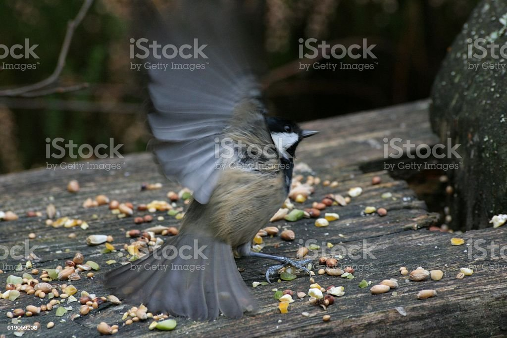 Bluetit with splayed winds stock photo