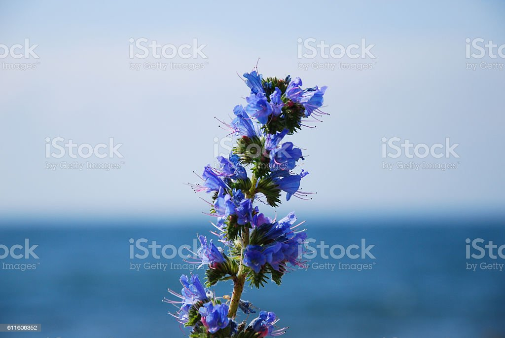 Blue-weed close up stock photo