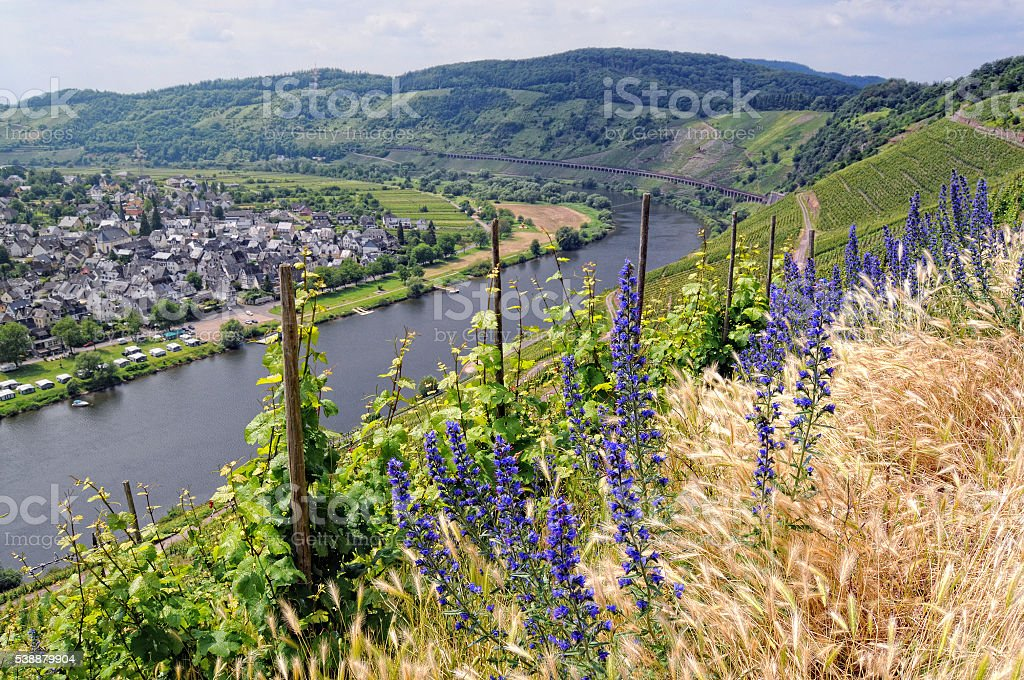 blueweed on hill of Mosel river valley stock photo