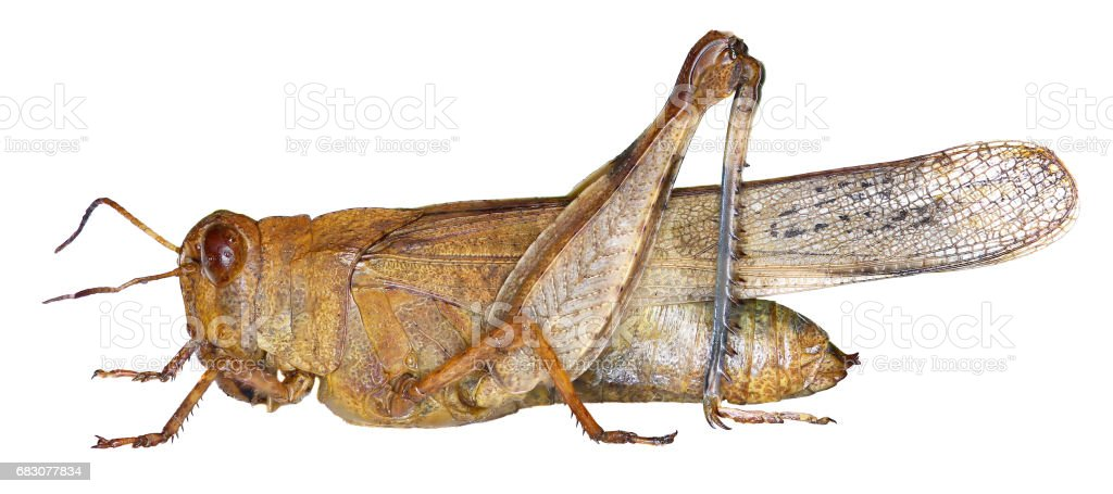 Blue-winged Grasshopper on white Background  -  Oedipoda caerulescens    (Linnaeus, 1758) stock photo