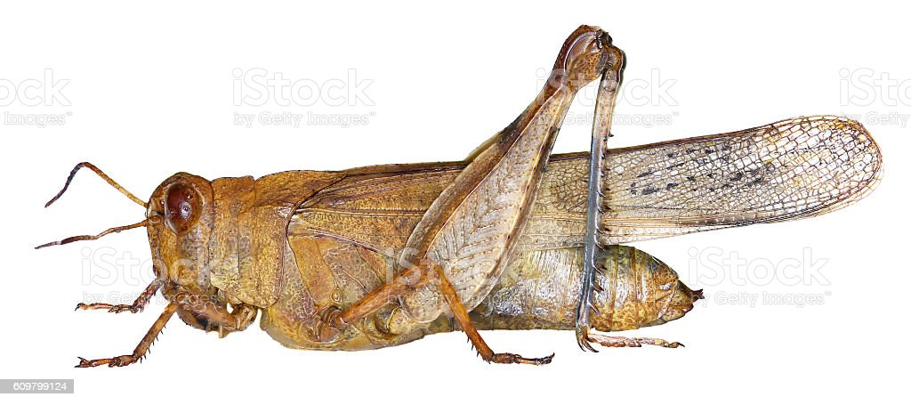 Blue-winged Grasshopper on white Background stock photo