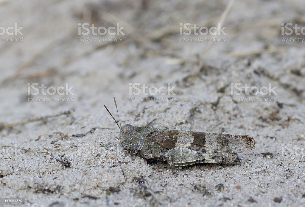 Blue-winged grasshopper (Oedipoda caerulescens) stock photo