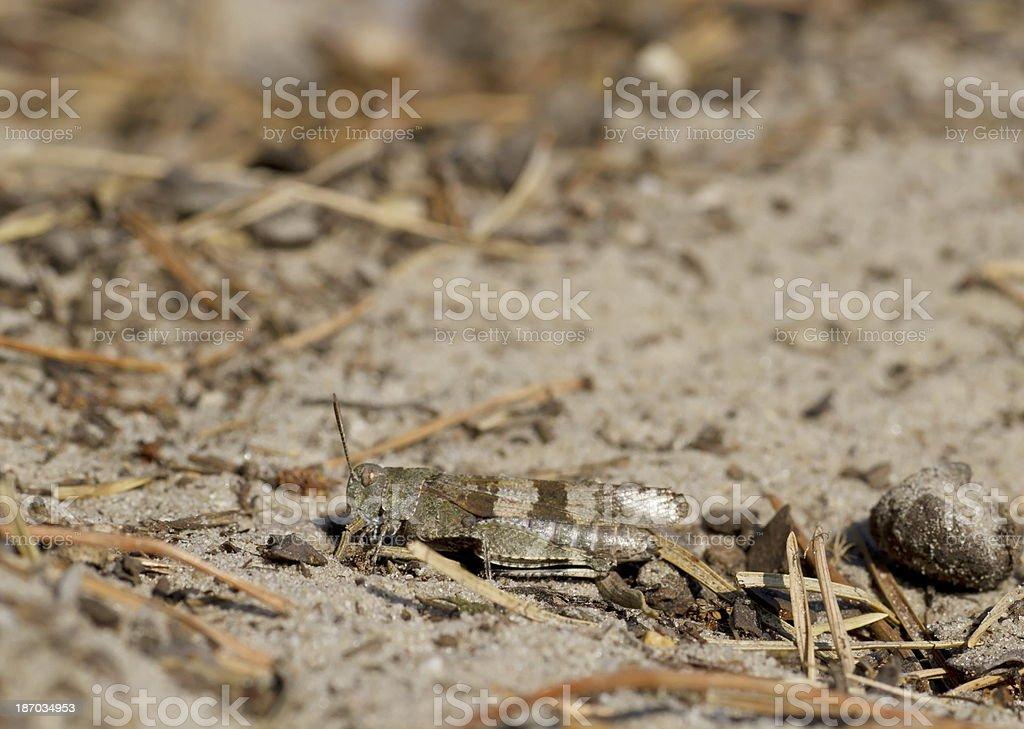 Blue-winged grasshopper (Oedipoda caerulescens) royalty-free stock photo