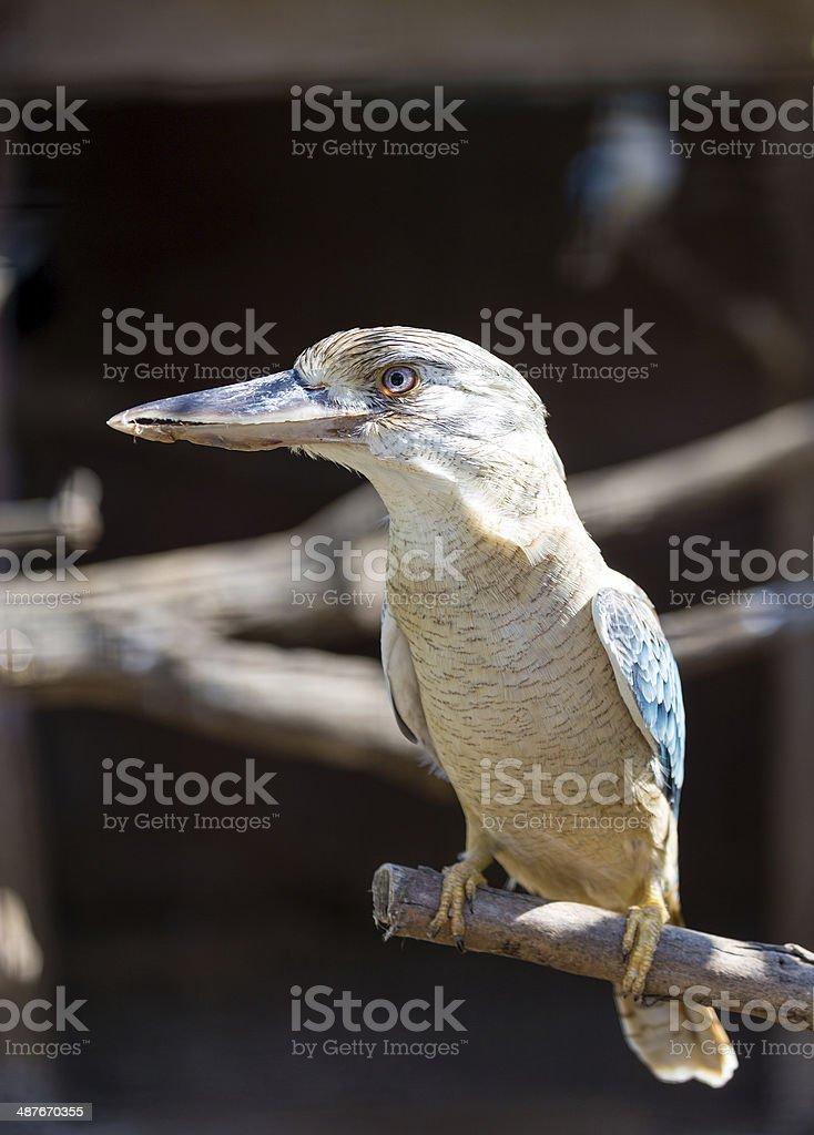 Blue-winged Kookaburra (Dacelo leachii) bird royalty-free stock photo