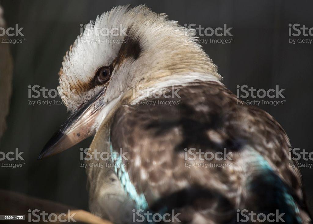 Blue-winged Kookaburra (Dacelo leachii) stock photo