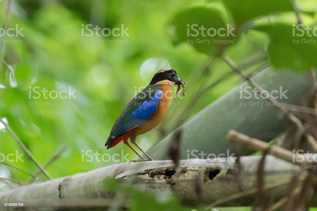 Blue-winged Pitta bird in brown blue wing, worm in mouth stock photo
