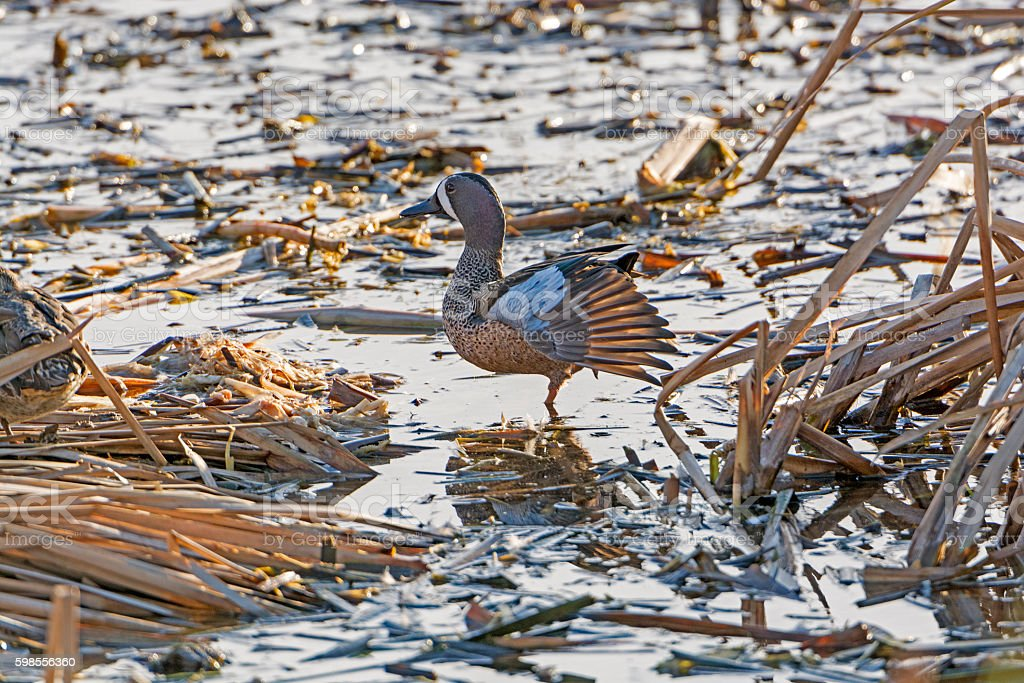 Blue-Winged Teal in a Wetland stock photo