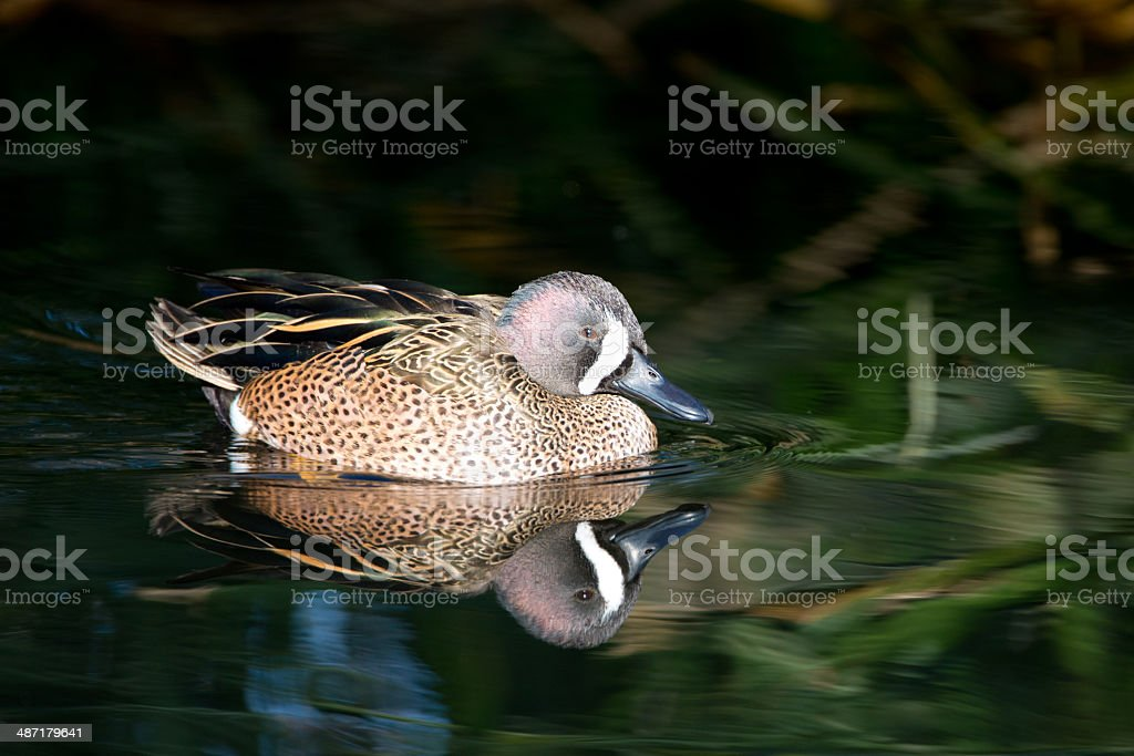 Blue-Winged Teal with Reflection royalty-free stock photo