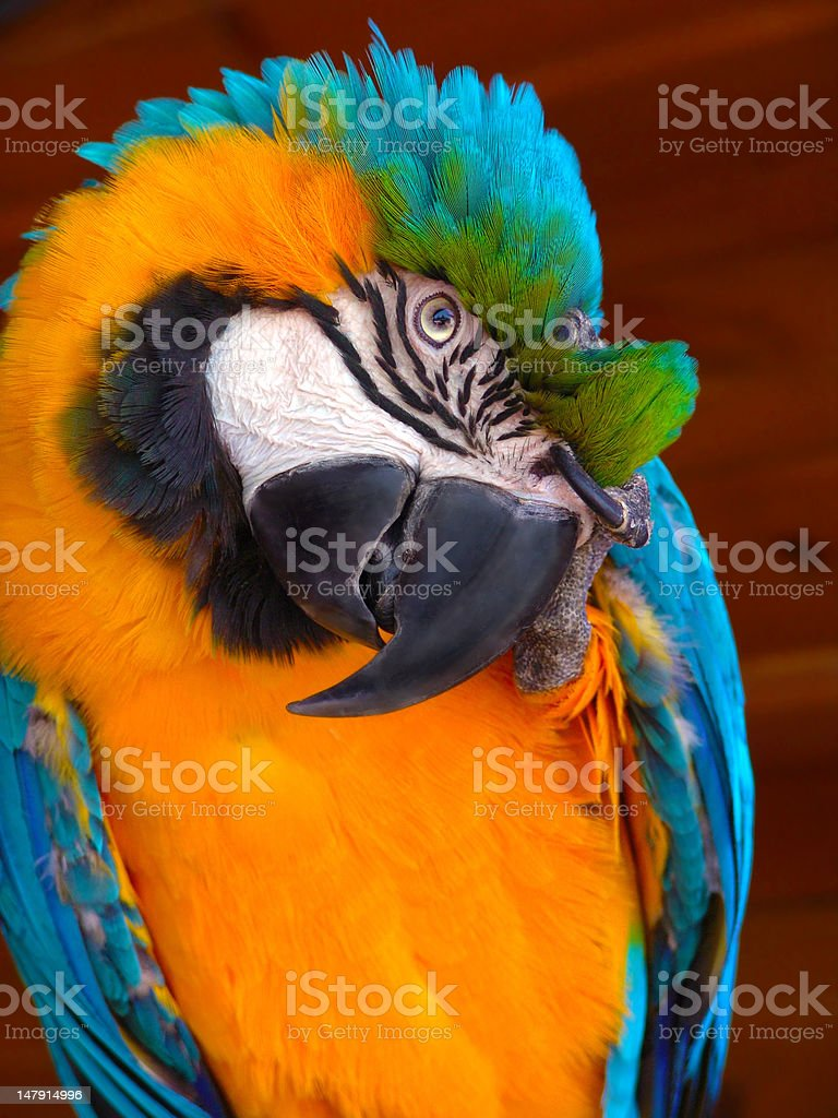 Blue-Yellow Macaw royalty-free stock photo