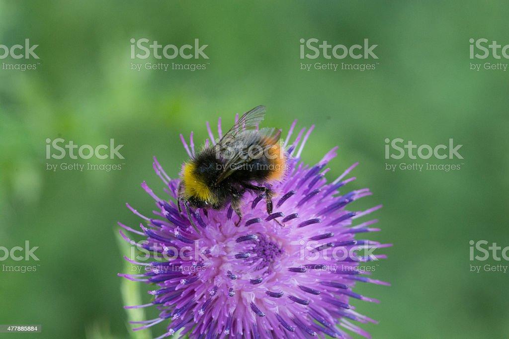 Blumbee on thistle royalty-free stock photo