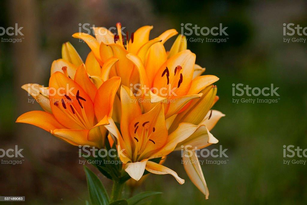 Blume Lilie stock photo
