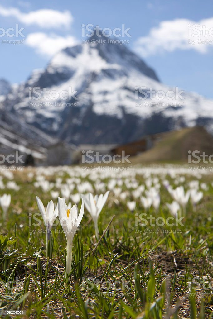 blumenwiese in den bergen royalty-free stock photo