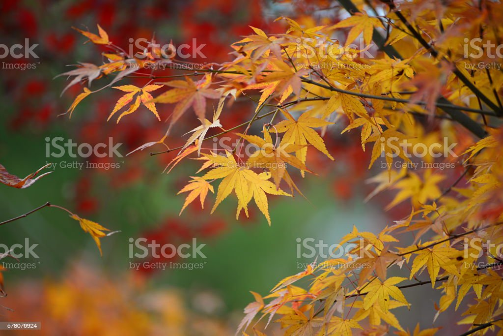 Blur background of maple stock photo
