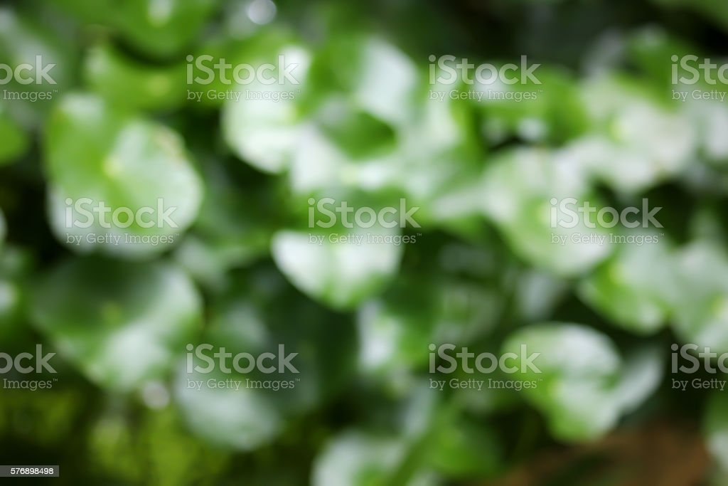 Blur of Gotu kola tree stock photo