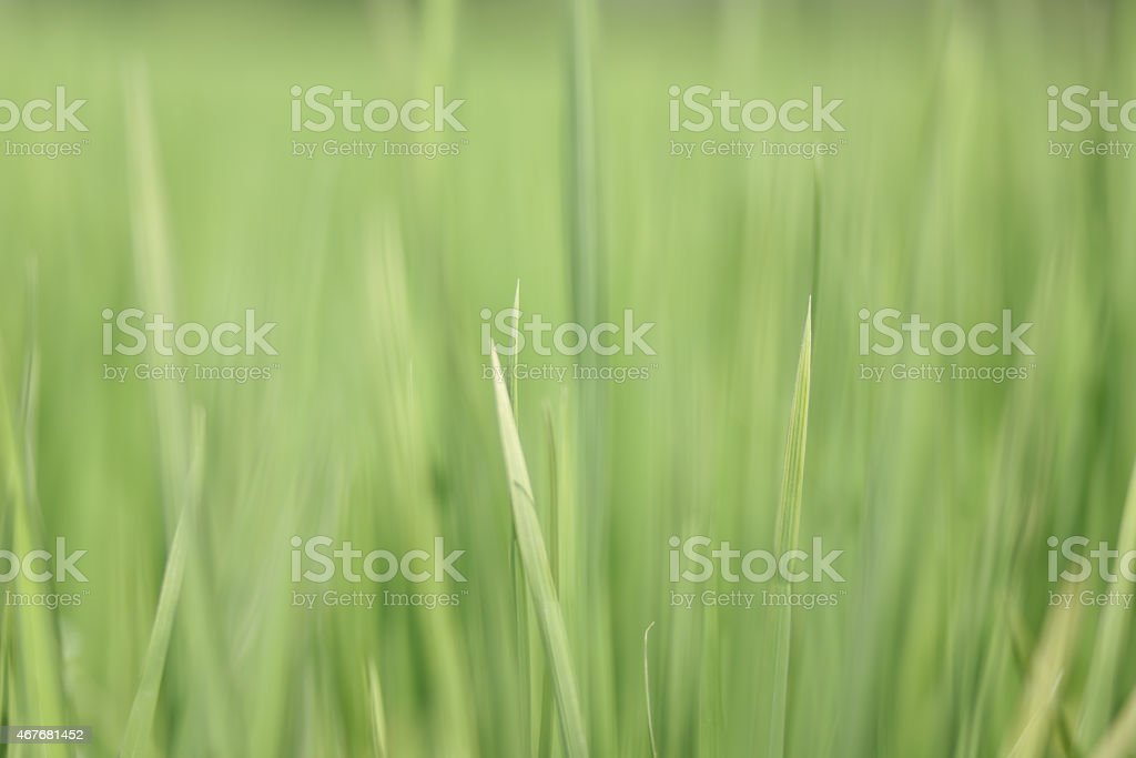 Blur rice field texture background. stock photo