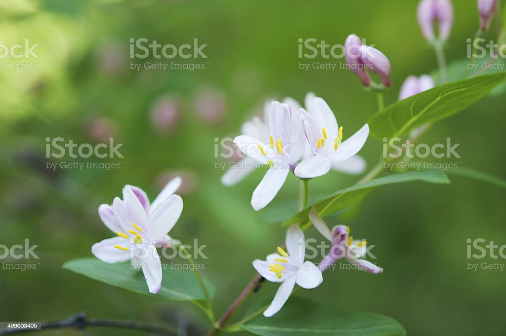 blur spring background, Honeysuckle flowers, Lonicera xylosteum stock photo
