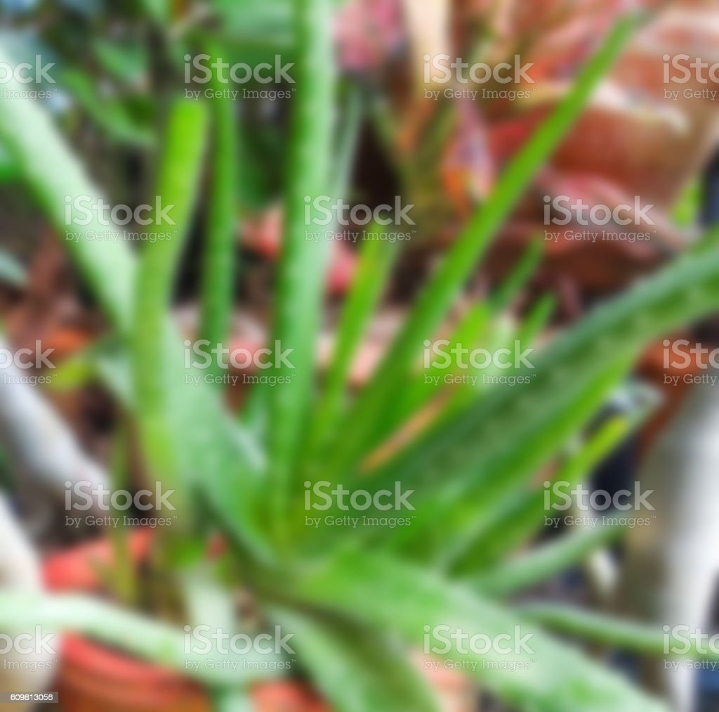 Blurred Aloe vera is a succulent plant species stock photo