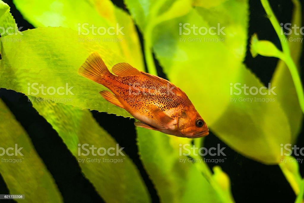 blurred aquarium with orange fish stock photo