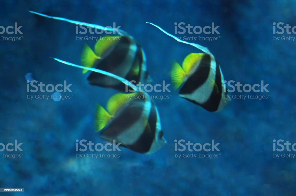 Blurred background of three Fish Heniochus acuminatus at the deep blue ocean near the corals close up stock photo