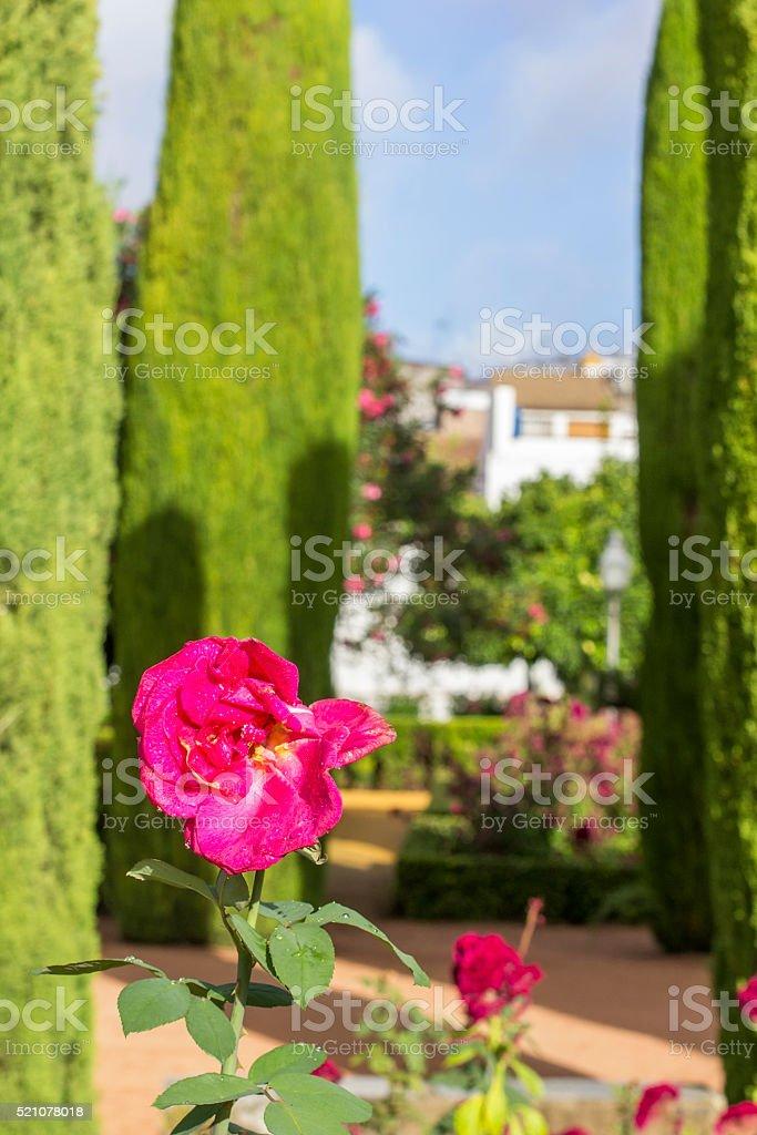 blurred background pink rose garden in the Alcazar stock photo