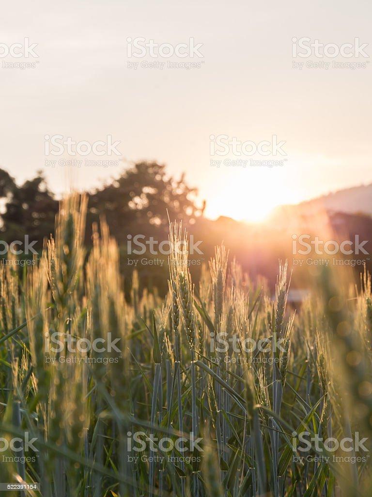 Blurred barley field at sunset stock photo