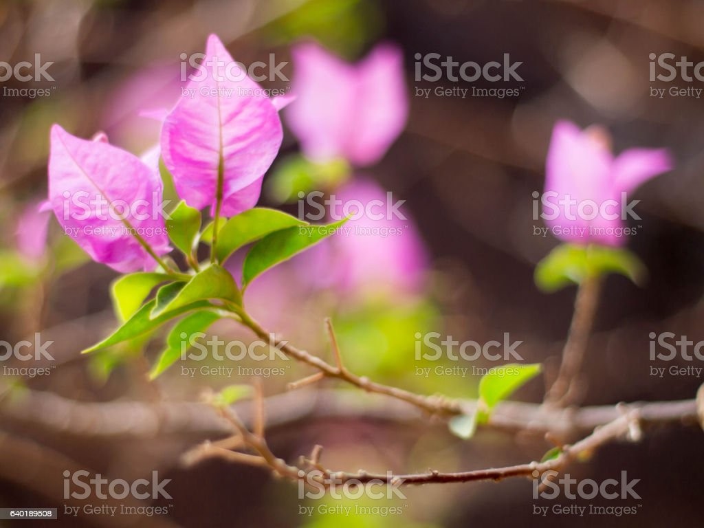 Blurred bougainvillea (Bougainvillea glabra), close-up bougainvi stock photo