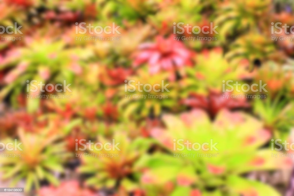 Blurred colorful bromeliad garden background stock photo