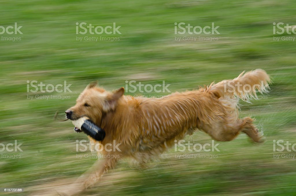 Blurred Golden Retriever Running with Training Dummy stock photo