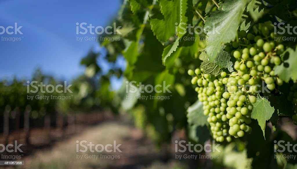 Blurred grapes stock photo