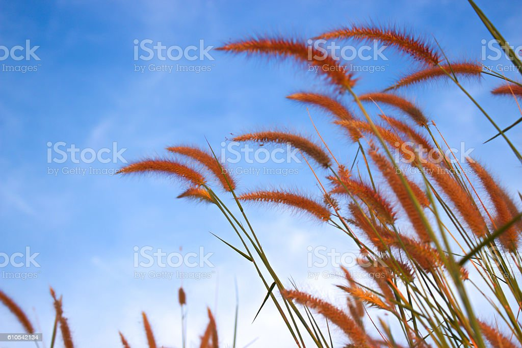 Blurred grass with blue sky background stock photo