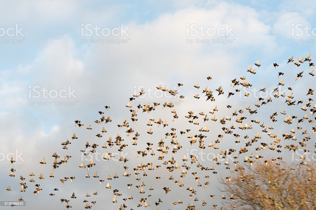 blurred motion flock of starlings stock photo