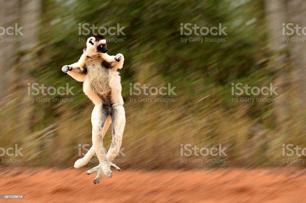 Blurred motion of Sifaka, Propithecus verreauxi, lemur of Madagascar jumping stock photo