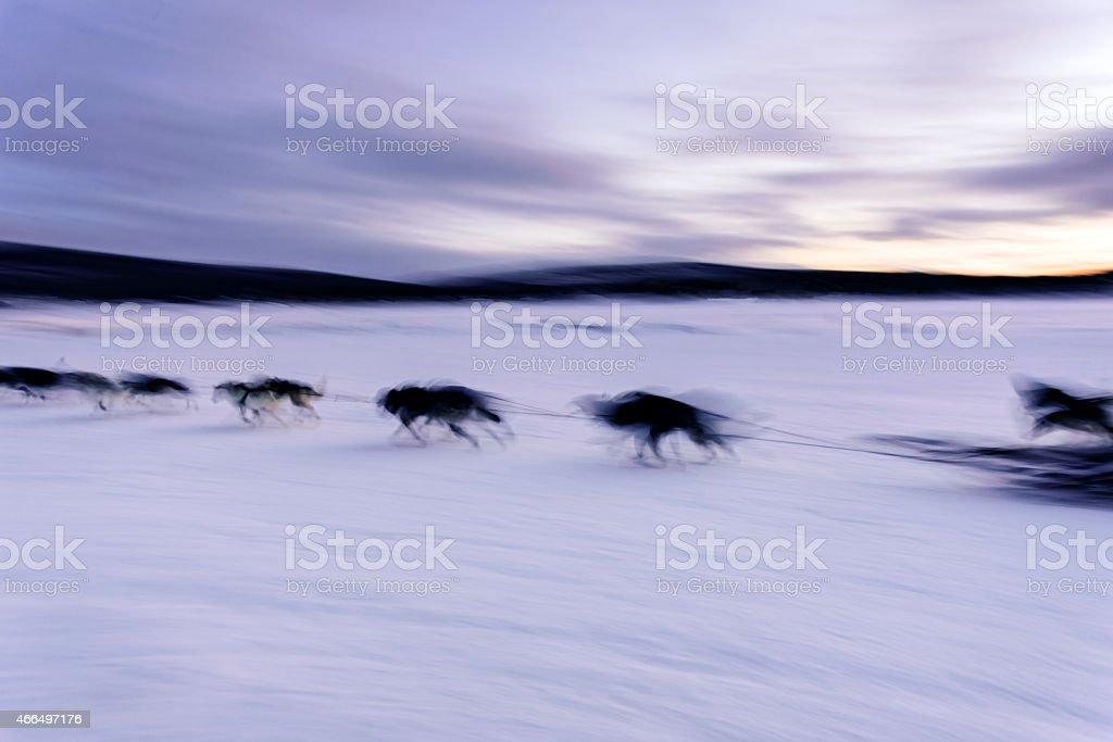 Blurred motion of sled dogs on the run over the frozen river in...