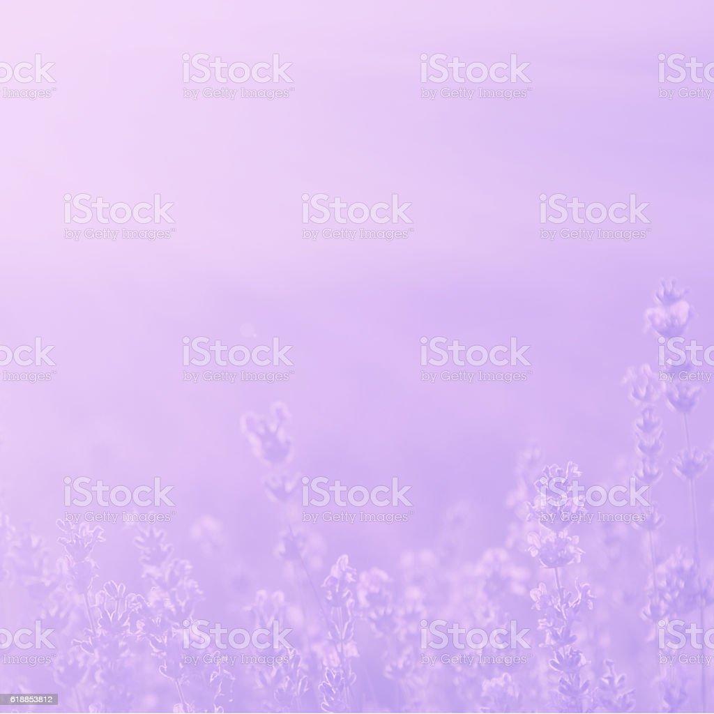blurred  pale lavender summer background stock photo