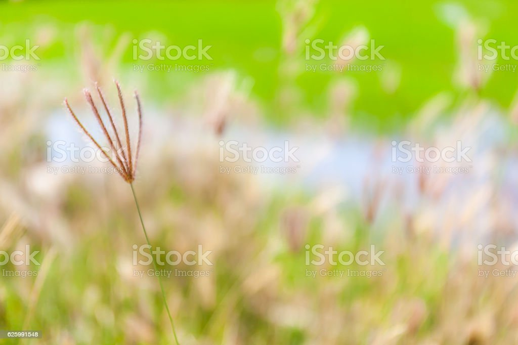 Blurred photo of swollen finger grass, natural abstract backgrou stock photo