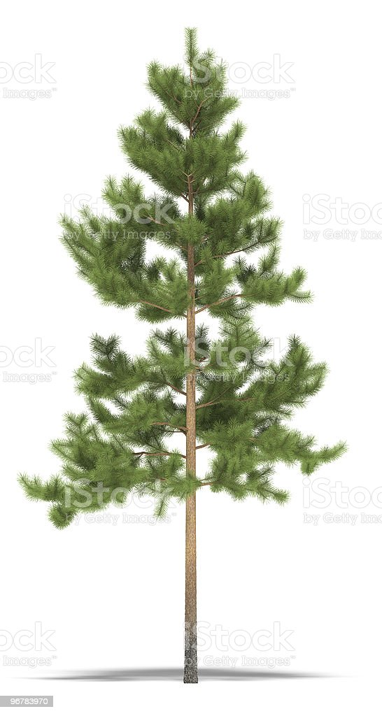 Blurred pine tree with thin brown trunk royalty-free stock photo