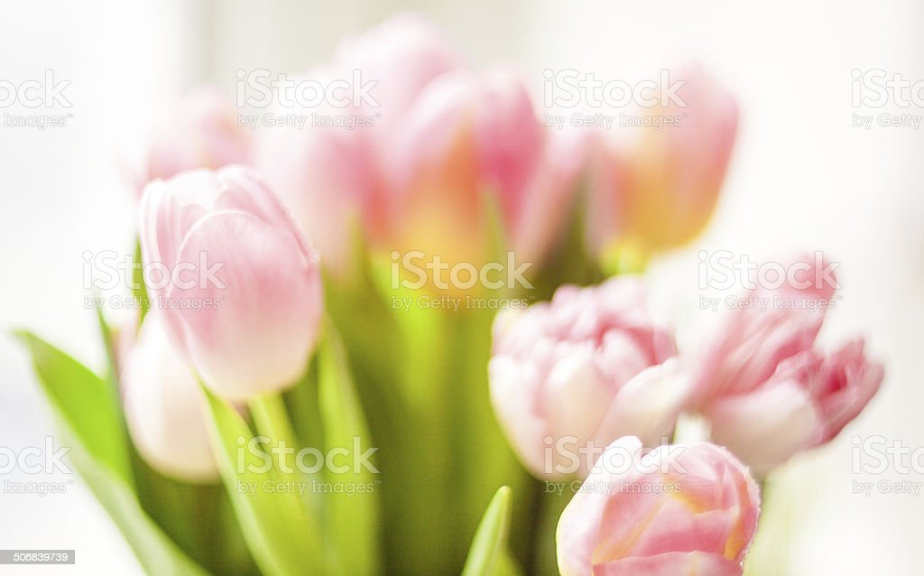 Blurred shot of fresh pink tulips stock photo