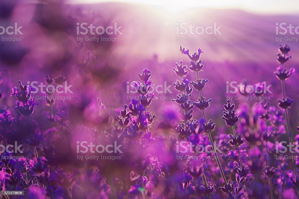 blurred summer background of  lavender flowers stock photo