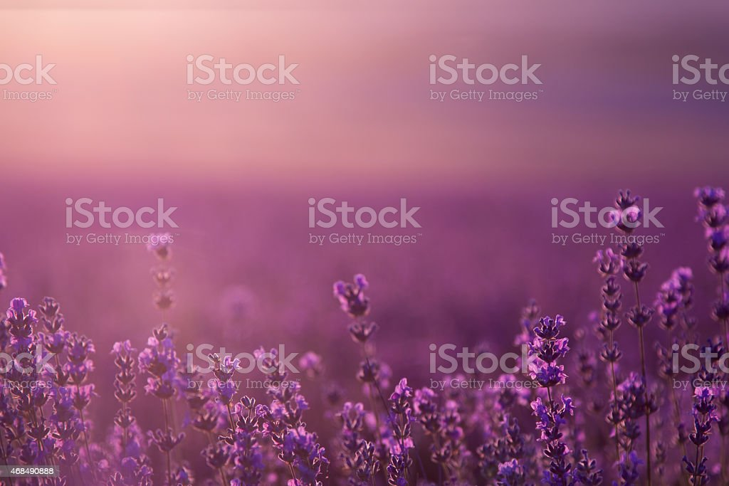 blurred summer background of wild grass and lavender flowers stock photo