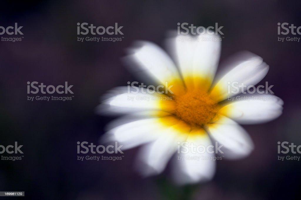 Blurred Wild Flower (Chrysanthemum coronarium), Majorca, Spain stock photo