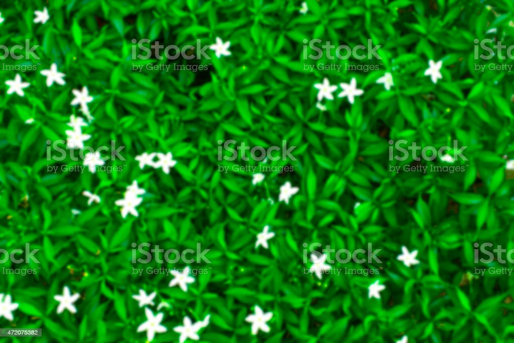 Blurry backgrounds (green leafs blooming and white flowers) royalty-free stock photo