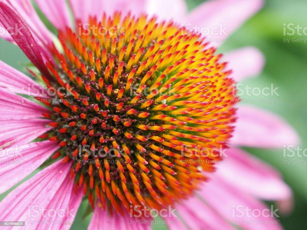 ิblurry Closeup  pink echinacea stock photo