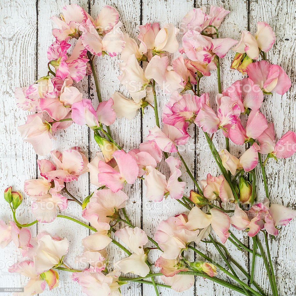 Blush Pink Sweet Peas on Rustic White Wood Background stock photo
