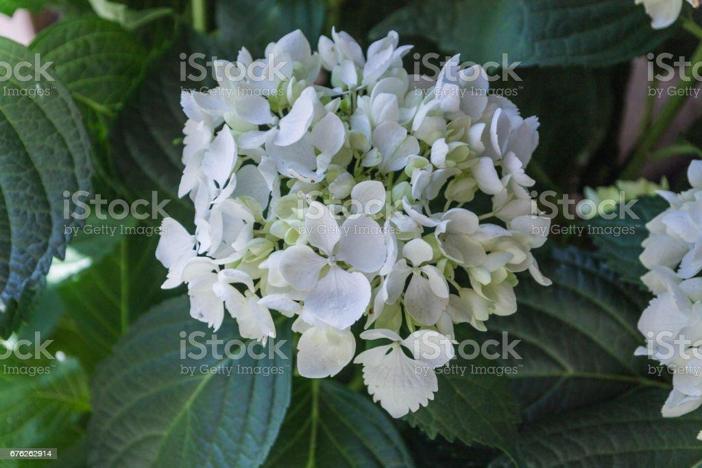 Blushing Bride Endless Summer Mophead. Hydrangea. Hydrangea bushes. stock photo