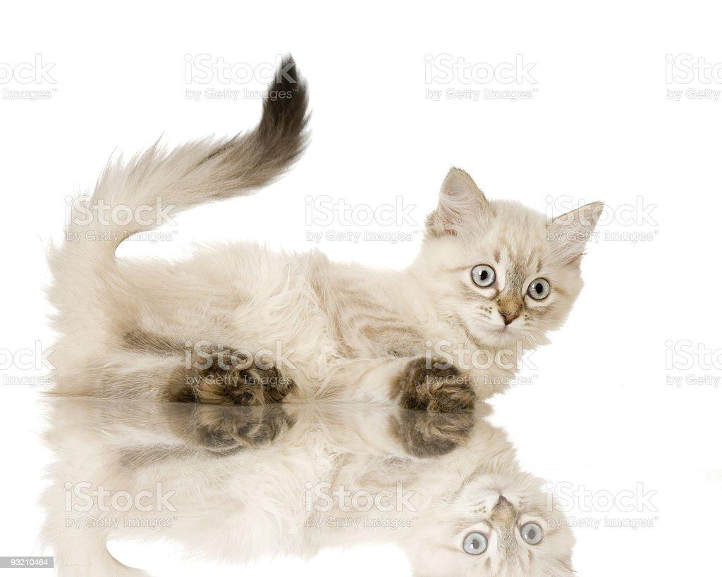 Blu-tabby-point Birman kitten stock photo
