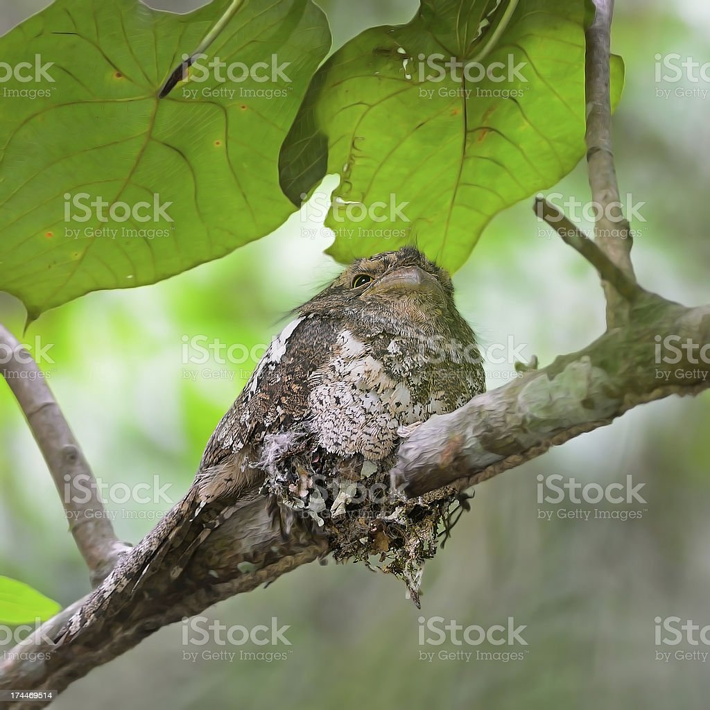 Blyth's Frogmouth stock photo