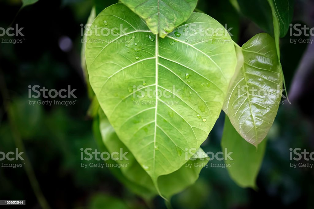 Bo leaf in heart shape green royalty-free stock photo